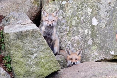 Red Fox Kits Gloucester MA copyright Kim Smith - 13 of 19