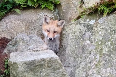 Red Fox Kits Gloucester MA copyright Kim Smith - 14 of 19