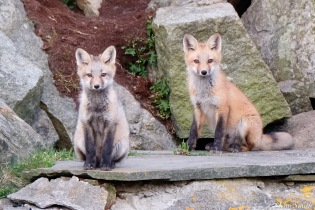 Red Fox Kits Gloucester MA copyright Kim Smith - 3 of 19