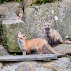 Red Fox Kits Gloucester MA copyright Kim Smith - 6 of 19