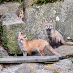 Red Fox Kits Gloucester MA copyright Kim Smith - 6 of 19