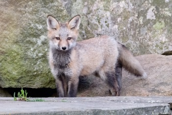 Red Fox Kits Gloucester MA copyright Kim Smith - 8 of 19
