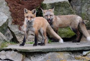 Red Fox Kits Vulpes vulpes Kim Smith - 10 of 24