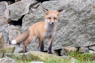 Red Fox Kits Vulpes vulpes Kim Smith - 12 of 24