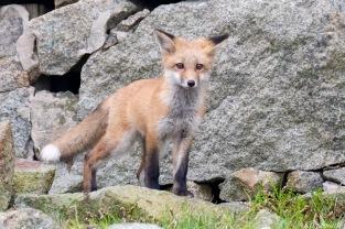Red Fox Kits Vulpes vulpes Kim Smith - 12 of 24