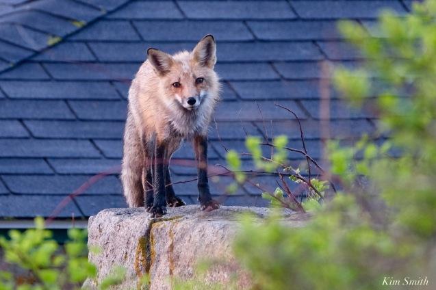 Red Fox Kits Vulpes vulpes Kim Smith - 16 of 24