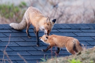 Red Fox Kits Vulpes vulpes Kim Smith - 17 of 24