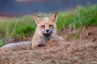 Red Fox Kits Vulpes vulpes Kim Smith - 18 of 24