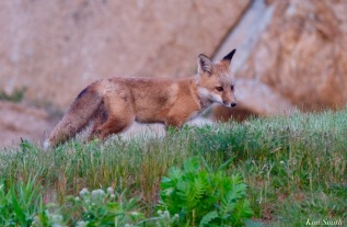 Red Fox Kits Vulpes vulpes Kim Smith - 25