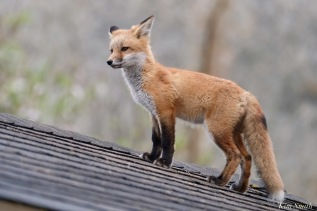 Red Fox Kits Vulpes vulpes Kim Smith - 7 of 24