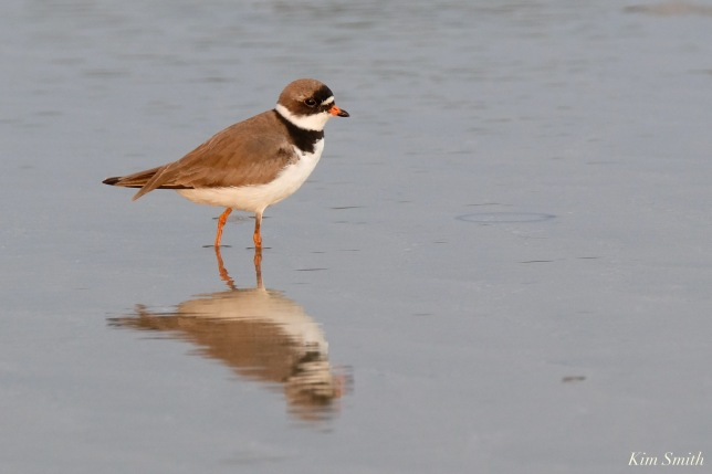 Semipalmated Plover Good Harbor Beach Gloucester copyright Kim Smith - 23 of 28