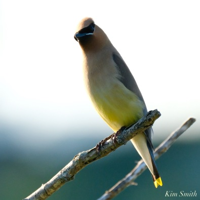 Cedar Waxwing Eastern Point copyright Kim Smith - 13 of 13