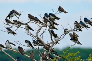 Tree Swallows Massing Good Harbor Beach -6 copyright Kim Smith