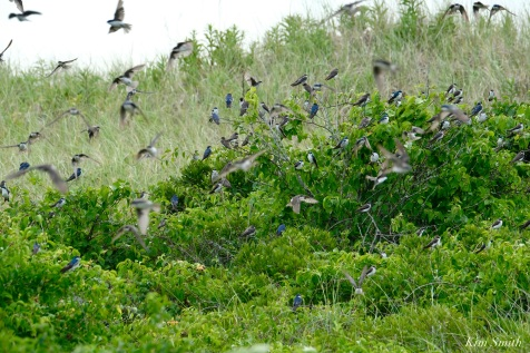 Tree Swallows Massing Good Harbor Beach -7 copyright Kim Smith