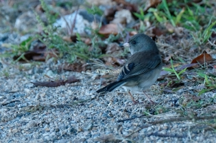 Dark-eyed Junco Glouceser Massachusetts copyright kim Smith - 4 of 9