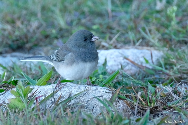 Dark-eyed Junco Glouceser Massachusetts copyright kim Smith - 9 of 9