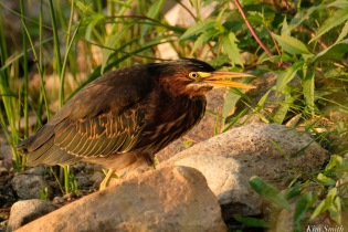 Little Green Heron Gloucester MA copyright Kim Smith - 6 of 9