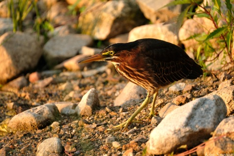 Little Green Heron Gloucester MA copyright Kim Smith - 8 of 9