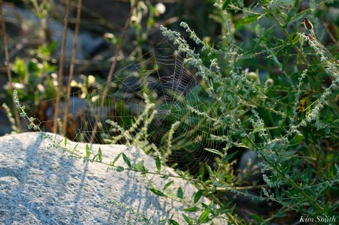 Orb Spider Webs Eastern Point Gloucester MA copyright Kim Smith - 10 of 13