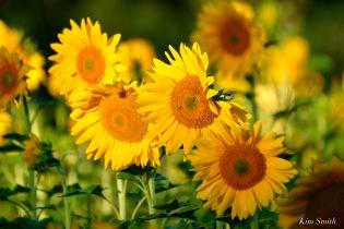School Street Sunflowers Ipswich MAssachusetts copyright Kim Smith - 1 of 42