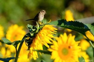 School Street Sunflowers Ipswich MAssachusetts copyright Kim Smith - 10 of 42