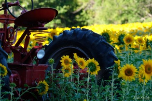 School Street Sunflowers Ipswich MAssachusetts copyright Kim Smith - 12 of 42