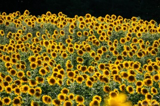 School Street Sunflowers Ipswich MAssachusetts copyright Kim Smith - 15 of 42