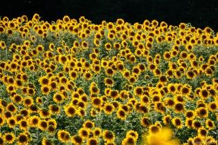 School Street Sunflowers Ipswich MAssachusetts copyright Kim Smith - 15 of 42