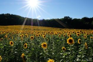 School Street Sunflowers Ipswich MAssachusetts copyright Kim Smith - 16 of 42