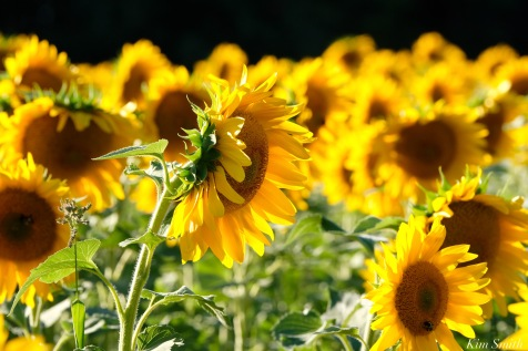 School Street Sunflowers Ipswich MAssachusetts copyright Kim Smith - 18 of 42