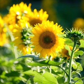 School Street Sunflowers Ipswich MAssachusetts copyright Kim Smith - 19 of 42