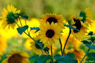 School Street Sunflowers Ipswich MAssachusetts copyright Kim Smith - 2 of 42