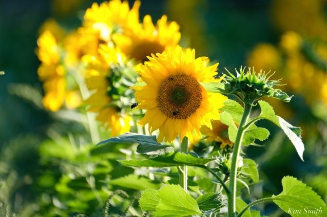 School Street Sunflowers Ipswich MAssachusetts copyright Kim Smith - 20 of 42