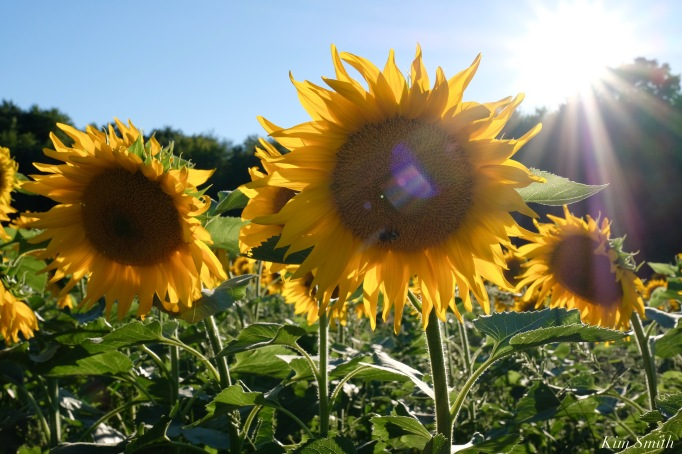 School Street Sunflowers Ipswich MAssachusetts copyright Kim Smith - 25 of 42