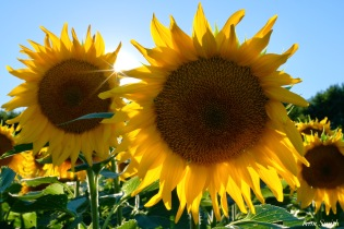 School Street Sunflowers Ipswich MAssachusetts copyright Kim Smith - 29 of 42
