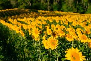 School Street Sunflowers Ipswich MAssachusetts copyright Kim Smith - 3 of 42