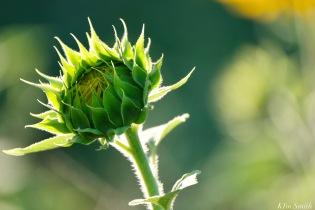 School Street Sunflowers Ipswich MAssachusetts copyright Kim Smith - 31 of 42