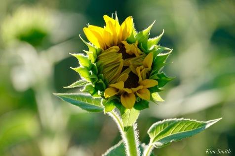 School Street Sunflowers Ipswich MAssachusetts copyright Kim Smith - 32 of 42