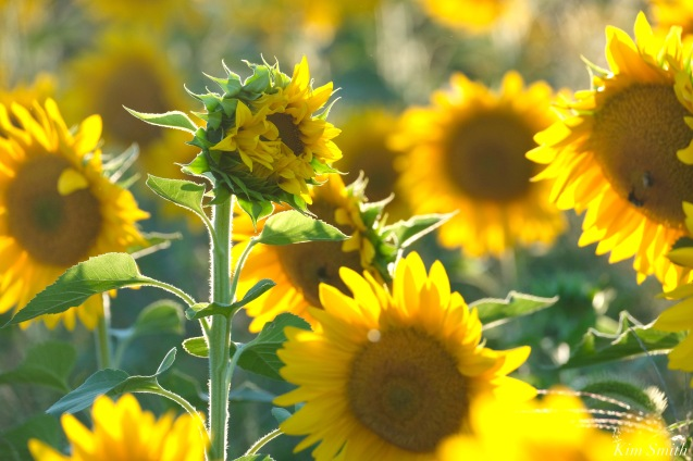 School Street Sunflowers Ipswich MAssachusetts copyright Kim Smith - 33 of 42