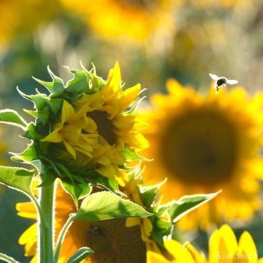 School Street Sunflowers Ipswich MAssachusetts copyright Kim Smith - 34 of 42