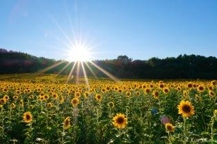 School Street Sunflowers Ipswich MAssachusetts copyright Kim Smith - 38 of 42
