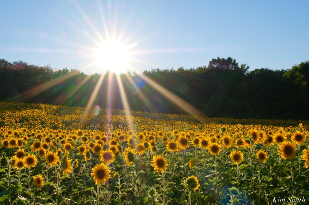 School Street Sunflowers Ipswich MAssachusetts copyright Kim Smith - 39 of 42
