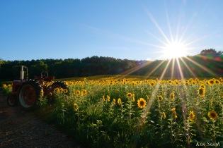 School Street Sunflowers Ipswich MAssachusetts copyright Kim Smith - 40 of 42