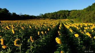 School Street Sunflowers Ipswich MAssachusetts copyright Kim Smith - 6 of 42