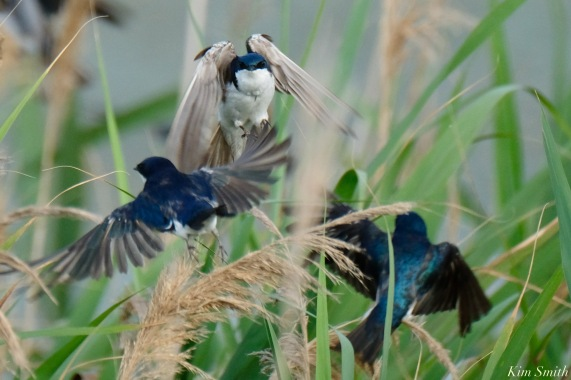 Tree Swallows Gloucester MA copyright Kim Smith - 9 of 17